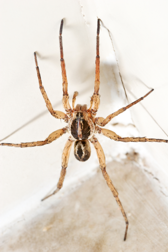 Cornered Wolf Spider