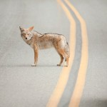 Coyote In Street