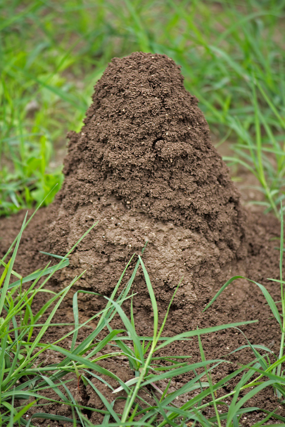 fire ant mound