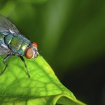 Fly_Green_Leaf