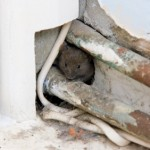 House_Mouse_Concrete