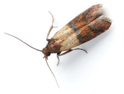 Indianmeal Moth