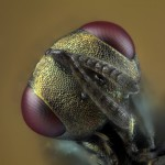 Parasitic_Wasp_Face