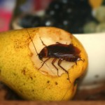 Roach_Eating_Pear