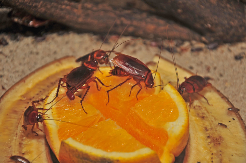 Roaches_On_Orange