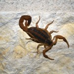 Striped Scorpion