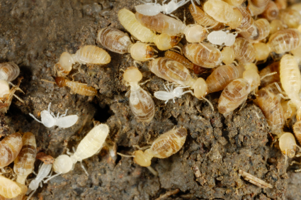 Close-up (1.4 to 1 life-size) of termites at their mound in the soil.