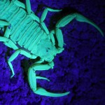 Black Light Scorpion