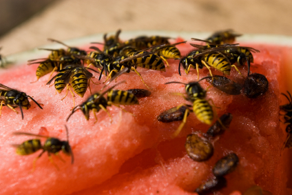 Wasps_On_Watermelon