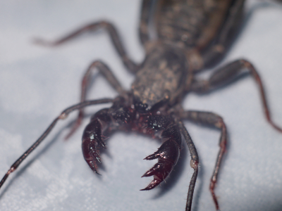 Whip_Scorpion_Mouth